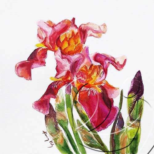 017178 Bearded Iris